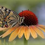 Schwalbenschwanz auf Sonnenhut